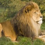 National animals:  Lion  and  Bulldog